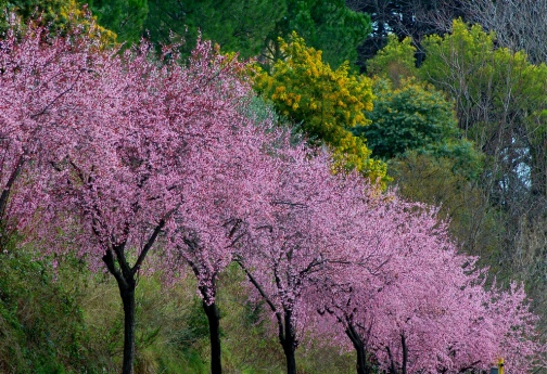 alberifioriti
